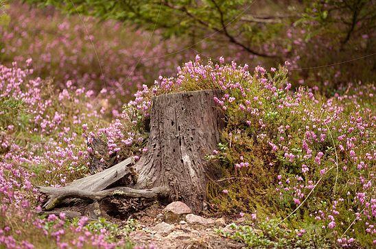 Erikabewachsener Baumstumpf