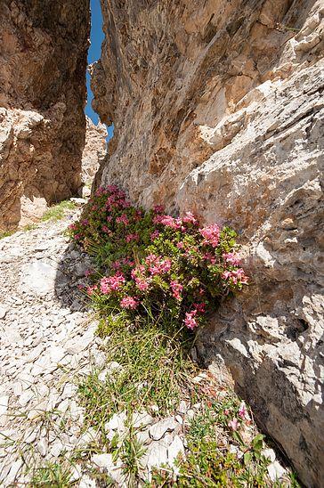 Alpenrosen in den Dolomiten