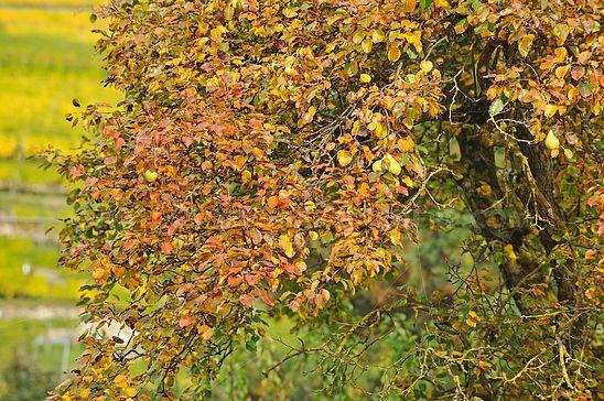 Herbstlicher Birnbaum