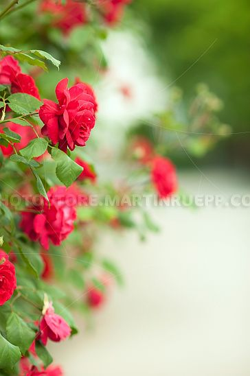 Rote Heckenrose