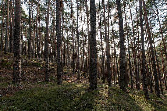 Kiefernwald am Hexenbödele in Lengstein