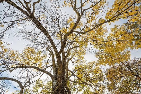 Eschenbaum