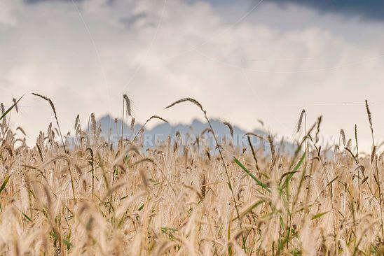 Getreideanbau auf der Malser Haide