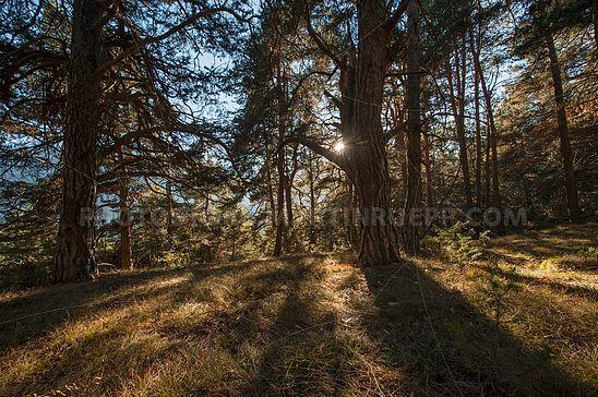 Bergkiefernwald