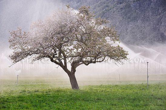 Beregneter Apfelbaum