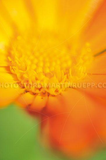 Calendulablüte