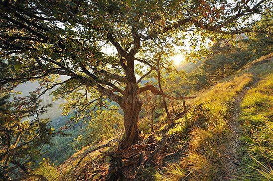 Flaumeiche am Naturnser Sonnenberg