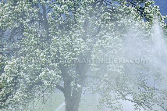 Birnbaum und Beregnung