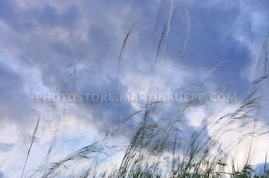 Gräser im Wind