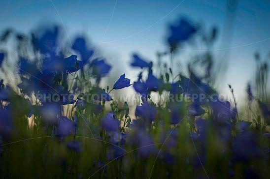 Glockenblumen in der Abenddämmerung