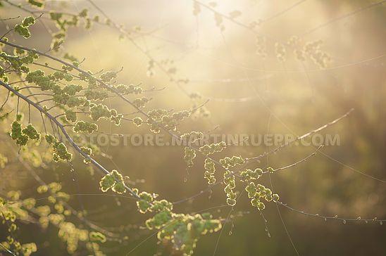 Junge Ulmenblätter