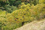 Herbstlicher Kastanienbaum