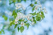 Blüten der Palabirne