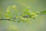 Robiniengrün