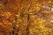 Herbst-Buchen