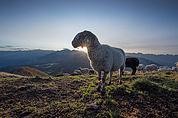 Schaf auf dem Schwarzhorn