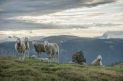 Schafe auf der Hohen Reisch