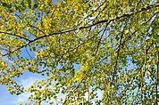 Herbstliche Linde