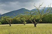 Apfelbäume bei Schluderns