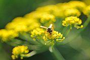 Wespe auf einer Fenchelblüte