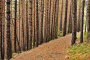 Weg im Kiefernwald