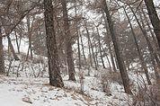 Schneetreiben im Wald