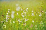 Feuchtwiesenblumen