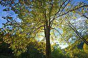 Herbstlicher Lindenbaum