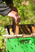 Einsetzen eines Rahmens in die Bienenkiste