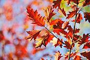 Herbstliches Eichlaub