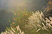 Perlgräser im Abendlicht