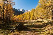 Herbstlicher Lärchenwald im Schnalstal