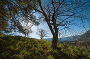 Kirschbaum am Weingartbühel