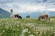 Grasende Kühe auf dem Tartscher Bichl