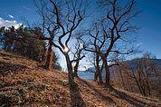Kastanienbäume am Noafer Bichl