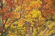 Herbsteschen