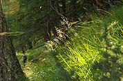 Gräser am Meraner Höhenweg