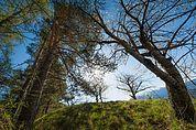 Bäume am Weingartbühel in Aicha