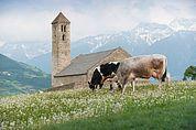 Kühe auf dem Tartscher Bichl