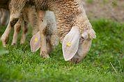 Weidende Schafe