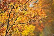 Eschenlaub im Herbst