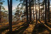 Im Kiefernwald