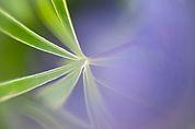 Lupinenblatt