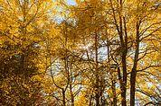 Herbst-Espen