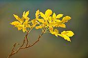 Eschelaub im Herbst