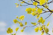 Junge Blätter