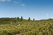 Latschen-Wald