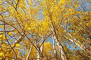 Espenwald im Herbst
