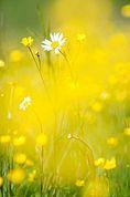 Margerite im gelben Hahnenfuss