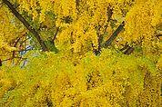 Gingko-Blätter im Herbst